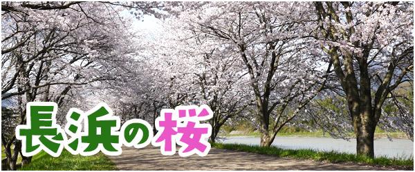 長浜の桜の記事のまとめ