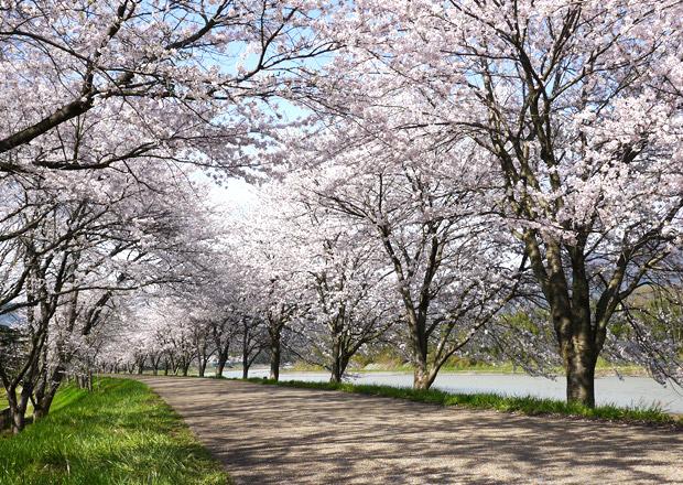 長浜の桜の記事を集めました。
