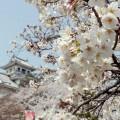 長浜城歴史博物館とソメイヨシノ