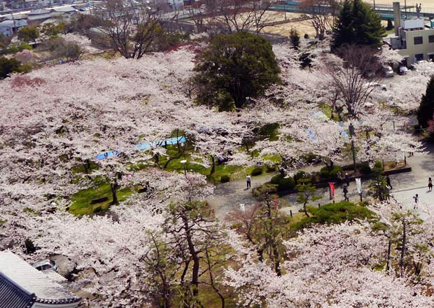 長浜城歴史博物館の展望台からの桜