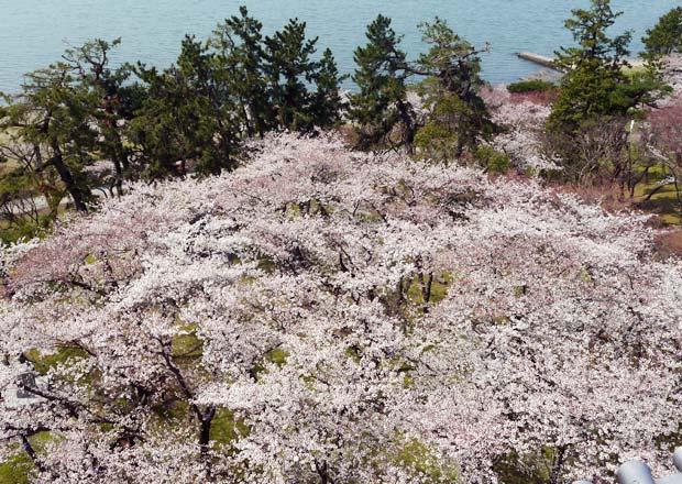 長浜城歴史博物館から見る桜と琵琶湖