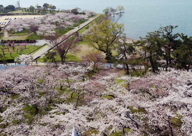 長浜城からのソメイヨシノ