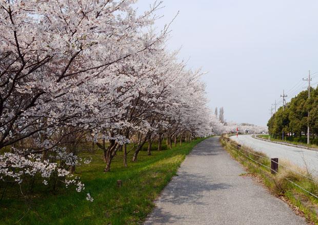 湖岸沿いの桜並木