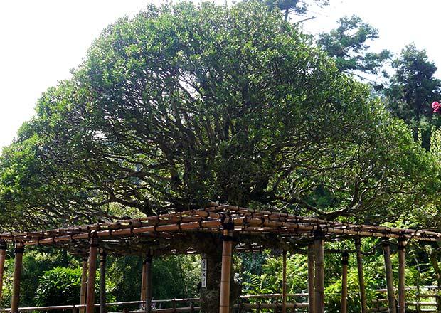 片桐且元(かたぎりかつもと)公が植樹したもちの木