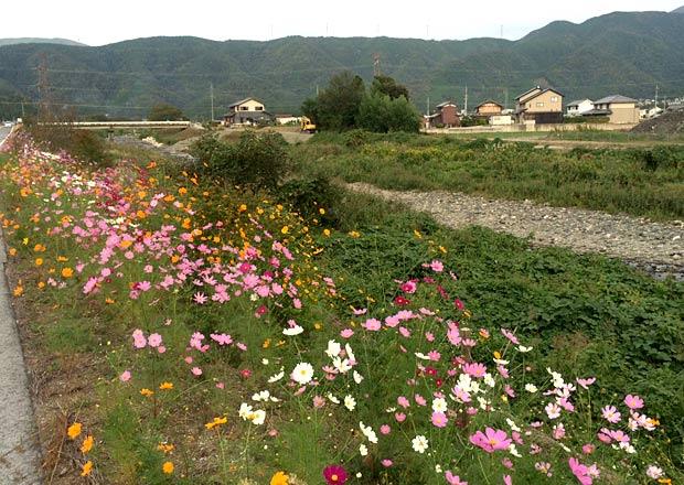 沿道に咲くコスモスの花