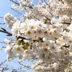 長浜新川の桜が満開でした