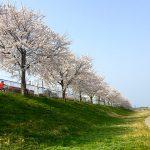 長浜市民病院の隣の道を車で運転中に目につく桜です。