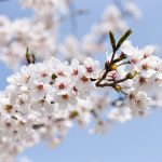 宮部の満開の桜
