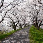 桜のトンネルがとても綺麗