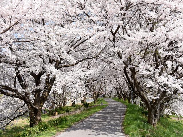 宮部の桜はナガジンの一押し