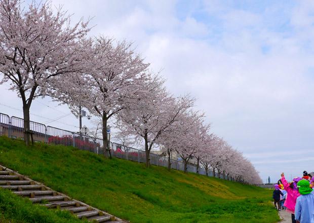 長浜新川の桜
