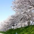 宮部かすみ堤の桜並木