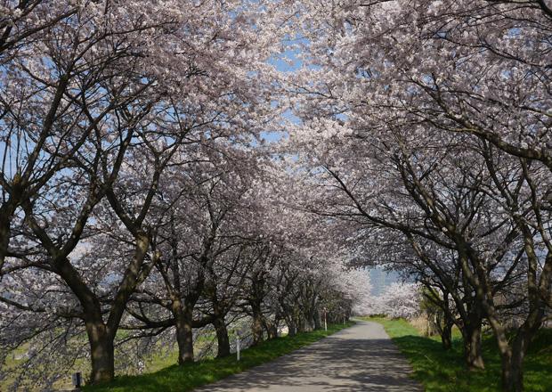 長浜キヤノン裏の宮部かすみ堤の桜並木
