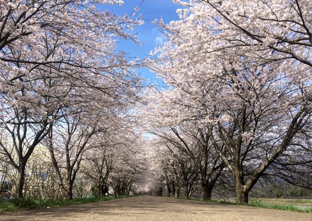 高時川堤防の桜並木