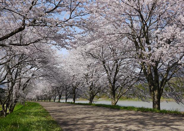 高時川堤防の桜並木の素晴らしさ