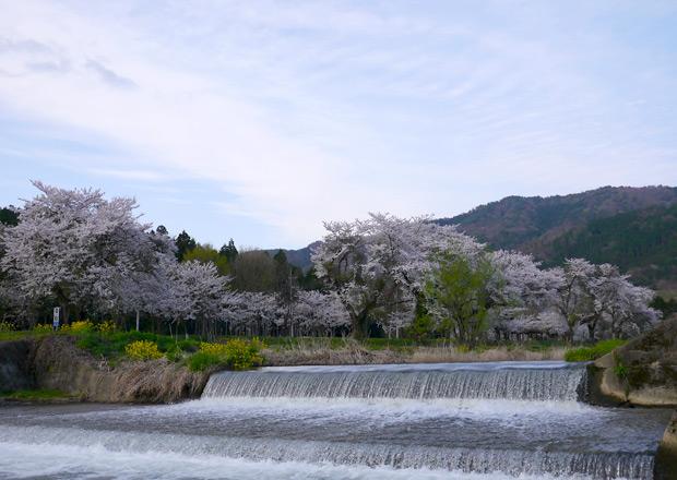 余呉川の桜 七部咲き