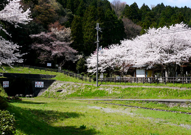 西野水道の桜