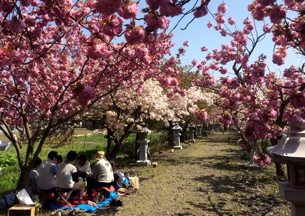 伊香具神社の参道に咲くボタン桜