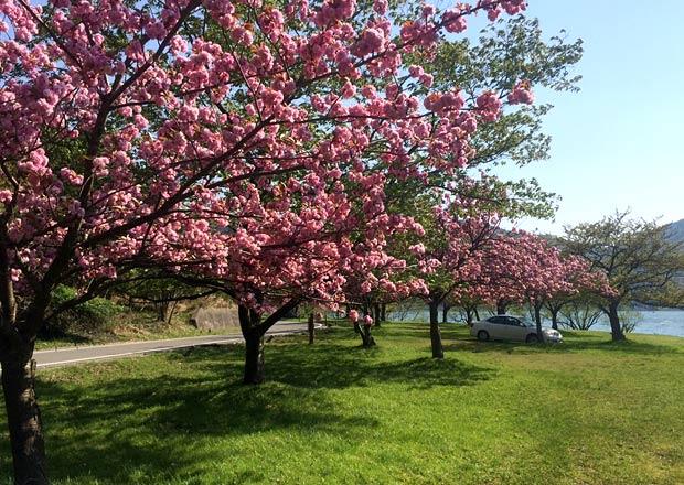 余呉湖の八重桜