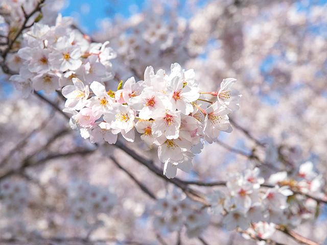 2019年の高時川の桜