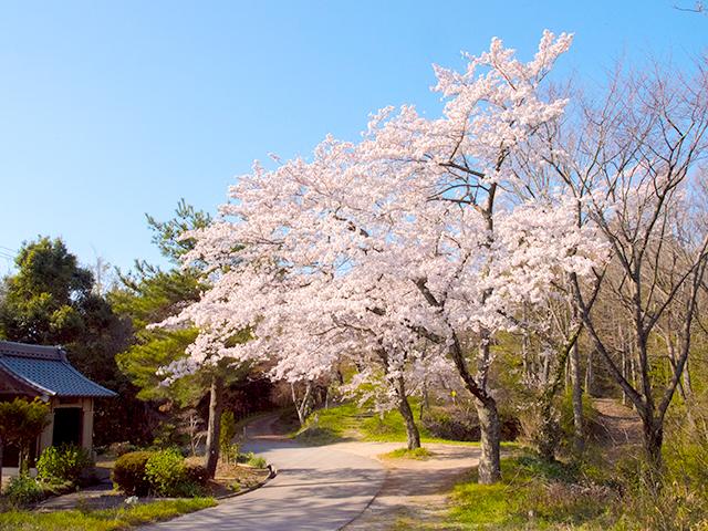 2019年虎御前山の桜