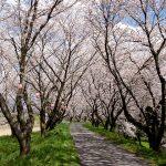 宮部かすみ堤の桜の木のトンネル