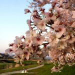 長浜新川の桜並木