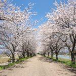 高時川の堤防沿いの桜