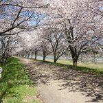 高時川の桜のトンネル