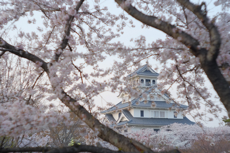 長浜城の桜