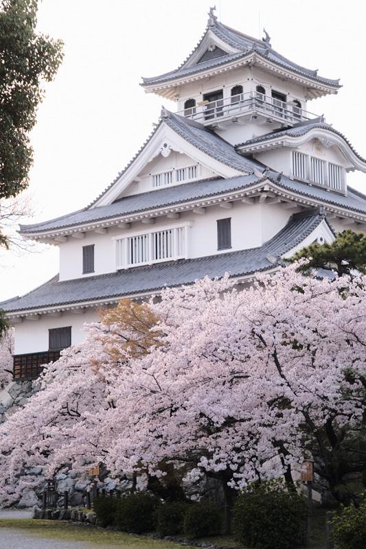 長浜城歴史博物館と桜