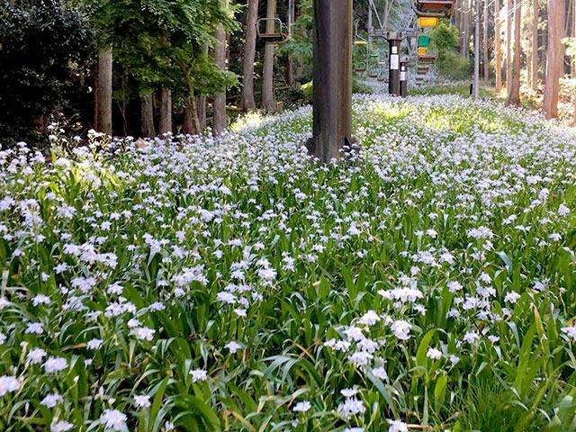 シャガという花の上を空中散歩