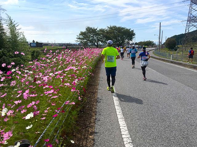 マラソンコースに咲くコスモスの花