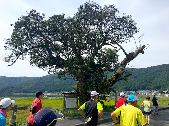 余呉湖の天女の羽衣伝説の木